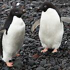 Adelie Penguins, Paulette Island, Antarctic Peninsula by Coreena Vieth