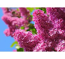Flowers of a lilac tree Photographic Print