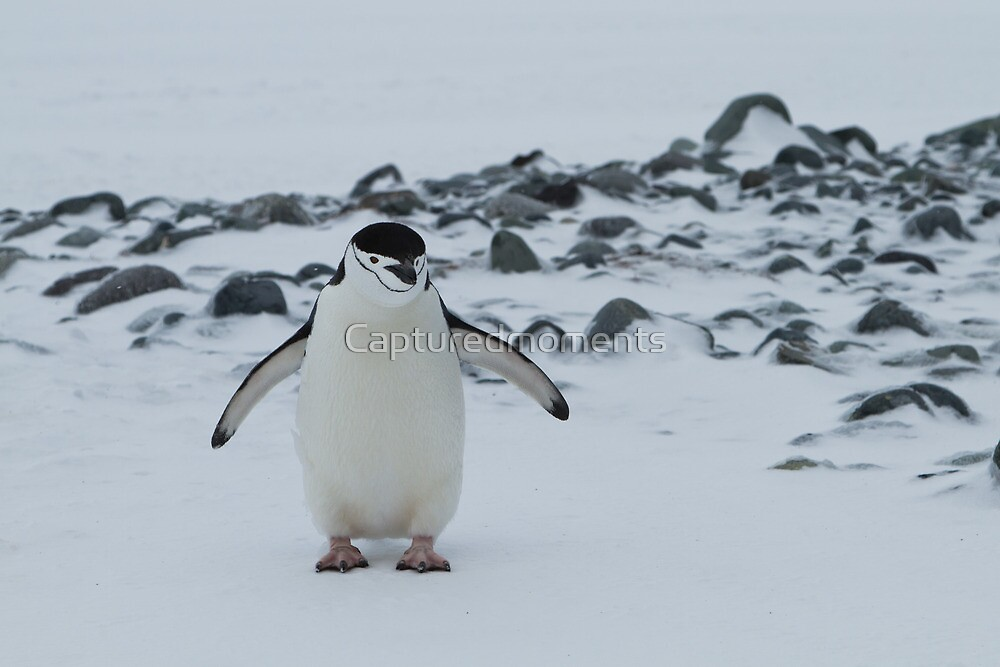 Chinstrap Penguin, Yankee Harbour, Antarctica by Coreena Vieth