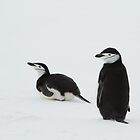 Chinstrap Penguins by Coreena Vieth