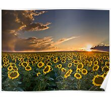 SunFlowers to the Setting Sun Poster