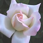 Pink on White Rose by Robert Armendariz