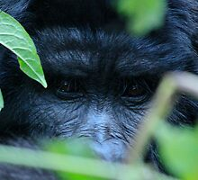 In the Eye's of a Gorilla by ebonyjaynephoto