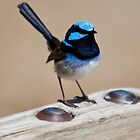 Superb Fairy Wren-male by Peter Smith