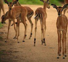 Impala by ebonyjaynephoto