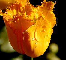 Spring Has Sprung - Golden Glow by Sally Haldane