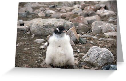 baby penguin by Mike Gregory
