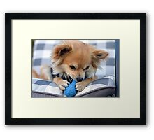 Ziggy, loves his toys Framed Print