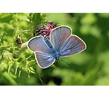 Mazarine Blue Butterfly nectaring on Thistle Flowers (Bulgaria) Photographic Print