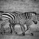 Zebras - B&W by Rhys Herbert