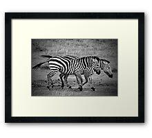 Zebras - B&W Framed Print