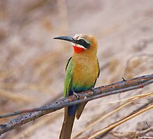 White Fronted Bee eater by Paul Watkins