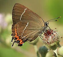 White-Letter Hairstreak Butterfly on Bramble Flowers (Bulgaria) by Michael Field
