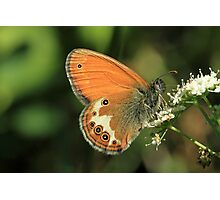 Pearly Heath Butterfly on Umbellifer flowers, Pirin Mountains (Bulgaria) Photographic Print