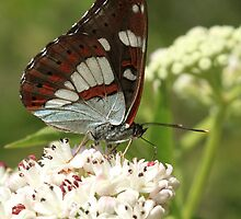 Southern White Admiral Butterfly on white flowers, Melnik (Bulgaria) by Michael Field