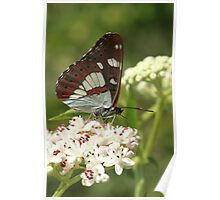 Southern White Admiral Butterfly on white flowers, Melnik (Bulgaria) Poster