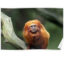 Golden Lion Tamarin Poster