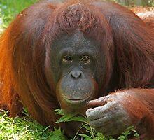 Orangutan by Ian Marshall