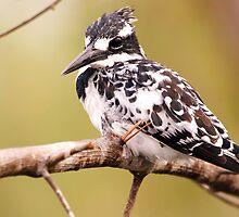 Preening Pied Kingfisher by Paul Watkins