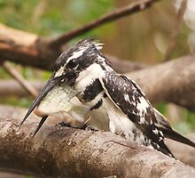 Pied Kingfisher with bream ready to take off by Paul Watkins