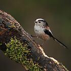 Long Tailed Tit by Ian Marshall