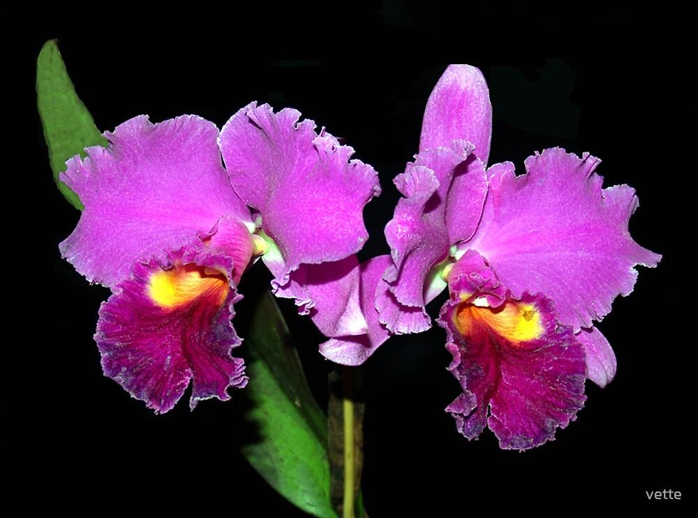 Cattleya Orchid Hybrid by vette