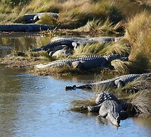 Alligators Abound by Paulette1021