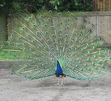 Peacock by Abigail Langridge