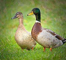 Mr & Mrs Mallard by M.S. Photography & Art