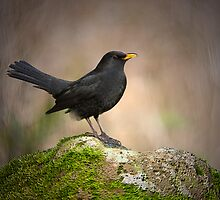 Blackbird by M.S. Photography/Art