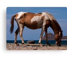 The hungry horse of Dili Canvas Print