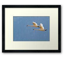 Trumpeter Swan Pair In Flight Framed Print