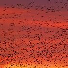 Starlings by Steve Falla