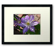 Purple Clematis Flower on Trellis  Framed Print