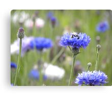 BumbleBee in Field Scabious Canvas Print