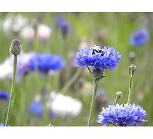 BumbleBee in Field Scabious Photographic Print