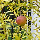 Pomegranate Growing in a Garden by Paula Betz