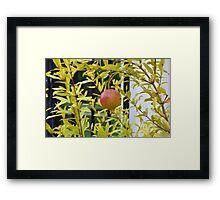 Pomegranate Growing in a Garden Framed Print
