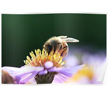 Bee on Aster Poster