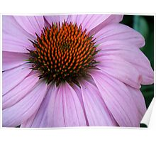 Echinacea in Pink Poster