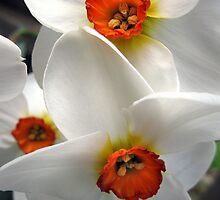 Narcissus by Karissa Schulten