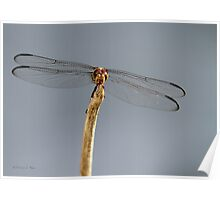 Dominant Dragonfly Poster