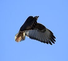Going Up Red Tail in Flight by DARRIN ALDRIDGE