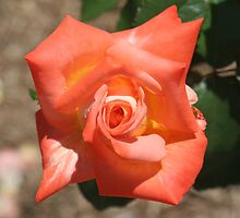 Orange rose by STHogan