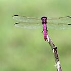 Radiant Red Dragonfly by Sabrina Ryan