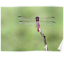 Radiant Red Dragonfly Poster