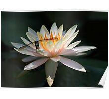 Beautiful Dragonfly and Water Lily Poster