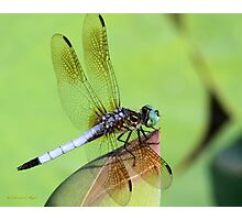 Awesome Blue Dasher Dragonfly Photographic Print