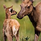Elk cow and Calf by Miles Glynn