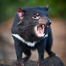 Tasmanian Devil by Doug Thost